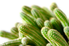 Potted cactus close Stock Images