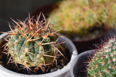 Potted cactus gymnocalycium riojense ssp. kozelskyanum. Prickly cacti collection, potted gymnocalycium riojense ssp. kozelskyanum, round cactus with thick spines Stock Photo