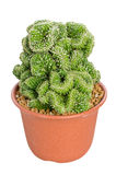 Potted Cactus. Royalty Free Stock Photography