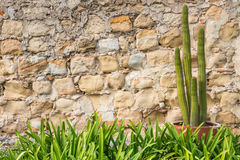 Potted Cactus Plant  Old Stone Wall Grass Border Stock Photo