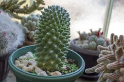 Potted cactus plant Stock Photo
