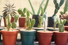 Potted cactus plants on a line. Green cactus plants in pots, farm, garden, cactus shop stock photo
