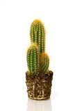 Potted cactus without pot Stock Photo