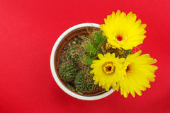 Potted cactus with yellow flowers on red background Royalty Free Stock Photos