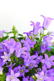 Potted Campanula Portenschlagiana Royalty Free Stock Photos