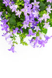 Potted Campanula Portenschlagiana Stock Images