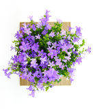 Potted Campanula Portenschlagiana Royalty Free Stock Images