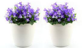 Potted Campanula Portenschlagiana Royalty Free Stock Photography