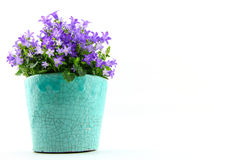 Potted Campanula Portenschlagiana Stock Photography
