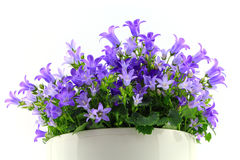 Potted Campanula Portenschlagiana Royalty Free Stock Image