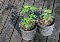 Potted cannabis plants. Two small cannabis plants in household pots. Home growing medical marihuana Royalty Free Stock Photos