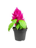 Potted Celosia Argentea Plumosa Stock Photo