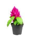Potted Celosia Argentea Plumosa Stock Photo