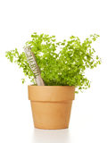 Potted Chervil Plant isolated Royalty Free Stock Photos