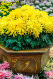 Potted Chrysanthemum Stock Photography
