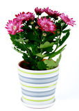 Potted Chrysanthemum Stock Images