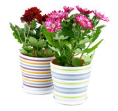 Potted Chrysanthemum Royalty Free Stock Image