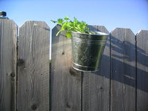 Potted Cilantro on a Fence. Potted cilantro (coriander) blows in the wind in a galvanized metal pot on a wooden fence Stock Photos