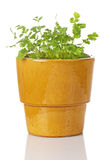 Potted Cilantro Plant Stock Photos