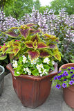 Potted coleus with white begonia. Royalty Free Stock Image