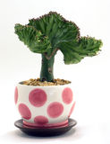 Potted Coral Cactus Royalty Free Stock Photography