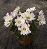 Potted --- Cosmos Stock Photos
