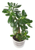 Potted crassula or dollar tree Royalty Free Stock Photos