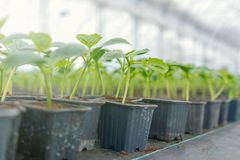 Potted cucumber. Cucumber sprouts Green Leaves New Life. Seedlings stock image