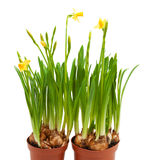 Potted daffodil flowers grow pots isolated Stock Images