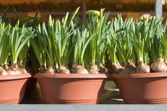 Potted Daffodils Royalty Free Stock Photos