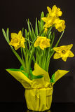 Potted Daffodils Stock Photos