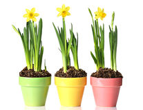 Potted daffodils Stock Photo