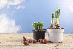 Potted daffodils and hyacinths begin to grow and some spring flo. Wer bulbs to plant in the garden or balcony, rustic wood, blue sky with clouds, copy space Royalty Free Stock Image