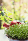 Potted dill herb Royalty Free Stock Image