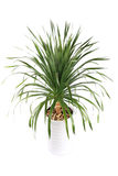 Potted dracaena Royalty Free Stock Image