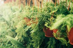 Potted fern in the greenhouse stock photography