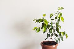 Potted ficus benjamin houseplant against a white wall. Styled Mockup for Text.  royalty free stock image
