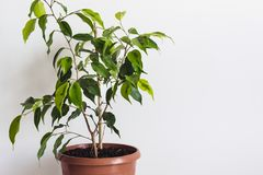 Potted ficus benjamin houseplant against a white wall. Styled Mockup for Text Template.  stock photos