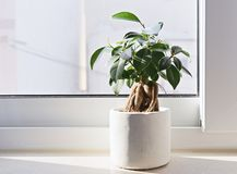 Potted Ficus Bonsai stock images