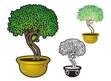 Potted Ficus Tree Royalty Free Stock Photos