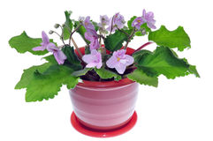 Potted flower Royalty Free Stock Image
