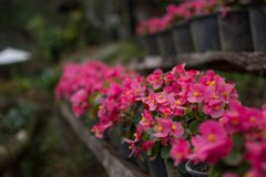 Potted flower stand on windowsill. In curtains background Royalty Free Stock Photo