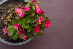 Potted flower stand on windowsill. In curtains background Stock Images