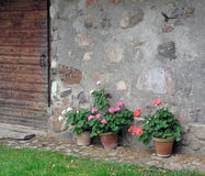 Potted Flowering Geraniums Against a Rustic Stone Wall. Royalty Free Stock Images
