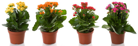 Potted flowers. Kalanchoe flower potted flowers, isolated on white background Royalty Free Stock Photos