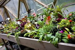 Potted Flowers in Greenhouse. Colorful Potted Flowers and Houseplants Blooming in Greenhouse Royalty Free Stock Images