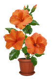 Potted flowers hibiscus Stock Photo