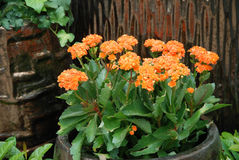 Potted flowers. Orange potted flowers in the summer Stock Image
