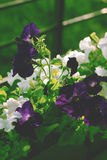 Potted flowers of petunia Royalty Free Stock Photos