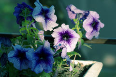 Potted flowers of petunia Stock Photos